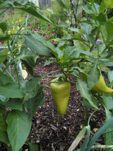peppers on a vine